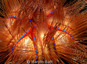 Fire Urchin showing all it glow. by Marylin Batt 